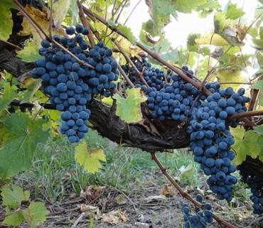 PE0656_mvc-001f.jpg Kleines Weingut im schönsten Teil Lanzarotes Las Palmas